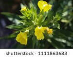 oenothera glazioviana  common... | Shutterstock . vector #1111863683