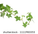 green ivy isolated on a white... | Shutterstock . vector #1111983353