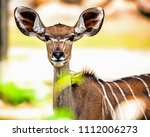 portrait of a juvenile female... | Shutterstock . vector #1112006273