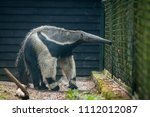 an anteater in the enclosure | Shutterstock . vector #1112012087