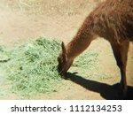 brown guanaco eating grass in a ... | Shutterstock . vector #1112134253