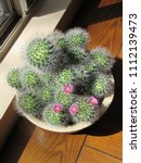 Small photo of Potted mammillaria cactus with pink flowers starting to bloom in front of a window sill in the sun