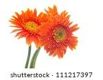 gerbera flower.