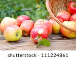 Basket full of ripe apples against apple orchard - stock photo