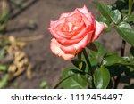 beautiful pink rose on... | Shutterstock . vector #1112454497