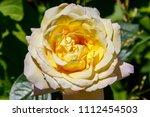 beautiful yellow rose on... | Shutterstock . vector #1112454503
