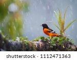 baltimore oriole  icterus... | Shutterstock . vector #1112471363