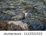 dipper bird on a stone   at the ... | Shutterstock . vector #1112521523