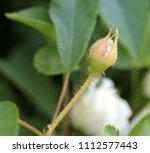 rosa x fortuniana  fortuniana... | Shutterstock . vector #1112577443