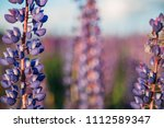 flowering lupines at sunset.... | Shutterstock . vector #1112589347
