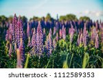 flowering lupines at sunset.... | Shutterstock . vector #1112589353
