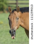 Brown Horse With Tongue Stuck...
