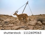 Small photo of Nursing ibex baby, Israel Nature and Parks Authority, Giro DÍtalia, May 6th 2018, Mitzpe Ramon, Israel.