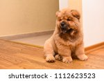 chow chow puppy in the house.... | Shutterstock . vector #1112623523