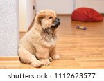 chow chow puppy in the house.... | Shutterstock . vector #1112623577