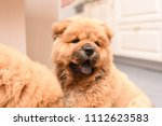 chow chow puppy in the house.... | Shutterstock . vector #1112623583