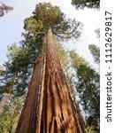mariposa grove of giant... | Shutterstock . vector #1112629817