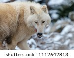 the hudson bay wolf  canis... | Shutterstock . vector #1112642813
