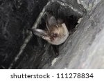 Brown long-eared bat, Smaland, Sweden - stock photo