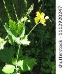grass celandine wild weeds in... | Shutterstock . vector #1112920247