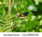 american redstart  deep in a... | Shutterstock . vector #1113000533