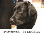 black labrador eagerly watching | Shutterstock . vector #1113003137