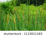 reed in the water | Shutterstock . vector #1113011183
