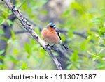 finch is a songbird of the...   Shutterstock . vector #1113071387