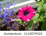 bright pink petunia flower in... | Shutterstock . vector #1113079523