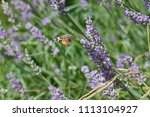 humming bird hawk moth or... | Shutterstock . vector #1113104927