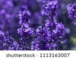 field lavender morning summer... | Shutterstock . vector #1113163007
