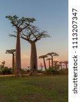 beautiful baobab trees at... | Shutterstock . vector #1113207347