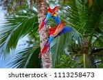 two ara macao  scarlet macaw ... | Shutterstock . vector #1113258473
