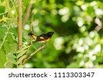 american redstart  deep in a... | Shutterstock . vector #1113303347