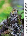 chipmunk  deep in a boreal... | Shutterstock . vector #1113303353