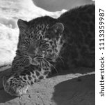 the amur leopard is a leopard...   Shutterstock . vector #1113359987