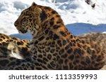 the amur leopard is a leopard...   Shutterstock . vector #1113359993