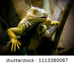 Yellow And Green Iguana With...