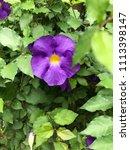 purple blooming flowers | Shutterstock . vector #1113398147
