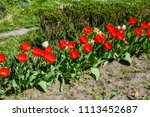 red tulips on a flowerbed in... | Shutterstock . vector #1113452687