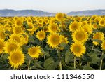 Early morning shot of a field of sunflowers, central valley or California, hills in the background - stock photo