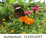 a butterfly and yellow blooming ... | Shutterstock . vector #1113513197