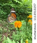 a butterfly and yellow blooming ... | Shutterstock . vector #1113513257