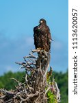 juvenile eagle on a stump  | Shutterstock . vector #1113620057