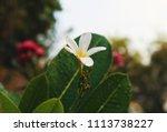 white and yellow frangipani... | Shutterstock . vector #1113738227