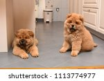 two chow chow puppy in the... | Shutterstock . vector #1113774977