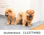 two chow chow puppy in the... | Shutterstock . vector #1113774983