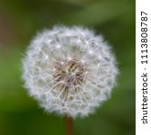 Small photo of natural faded white flower head of dandelion bloom (taraxacum officinale)
