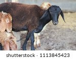 sheep for the feast of... | Shutterstock . vector #1113845423