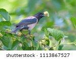 rosy starling  pastor roseus ... | Shutterstock . vector #1113867527